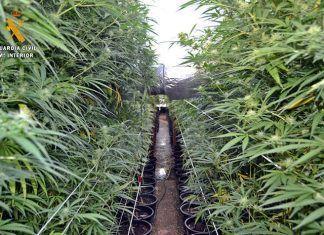 Plantación desmantelada en la Operación Cosechador