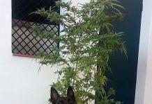 La Policía Local de Montijo interviene una planta de marihuana a un vecino