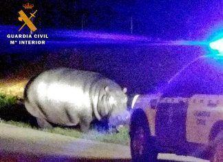 La Guardia Civil devuelve al circo un hipopótamo que se fugó en La Garrovilla