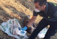 matar galgos Investigados dos vecinos de Talavera la Real y La Albuera por maltratar, matar y arrojar a un pozo a cuatro galgos