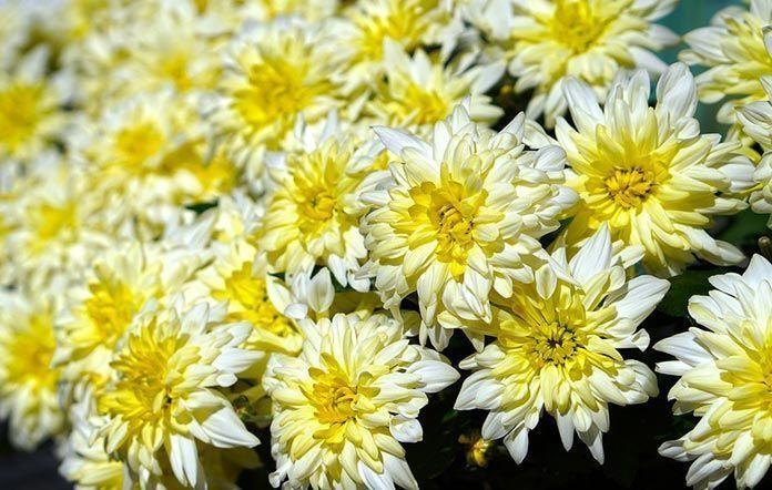 crisantemo día de Todos los Santos