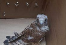 Rescatada una cría de Cernícalo Primilla en Montijo