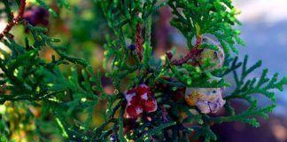 Diputación dona 73 plantas a los comerciantes y hosteleros de Montijo