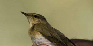 Un ave de 9 gramos viaja desde las Islas Scilly hasta África pasando por Lobón